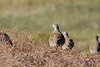 Gray partridges 2