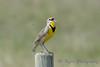 Meadowlark singing spring 2015