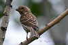 Purple Finch Female 6