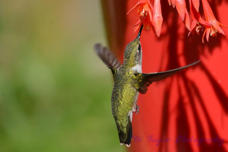 Ruby Throated Hummingbird in Fuschia 9