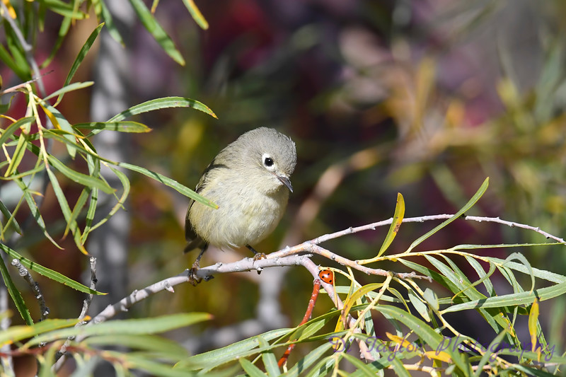 Ruby Crowned Kinglet Sep 21 2020