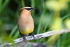 Cedar Waxwing  2  27 Jul 2019