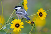 Chickadee in Daisies 3  Aug 17 2017