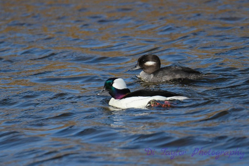 Buffle head Duck 2 28 Apr 2018