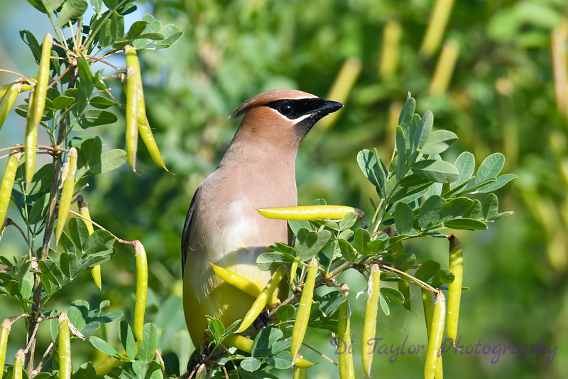 Cedar Waxwing  closeup 7 July 2019