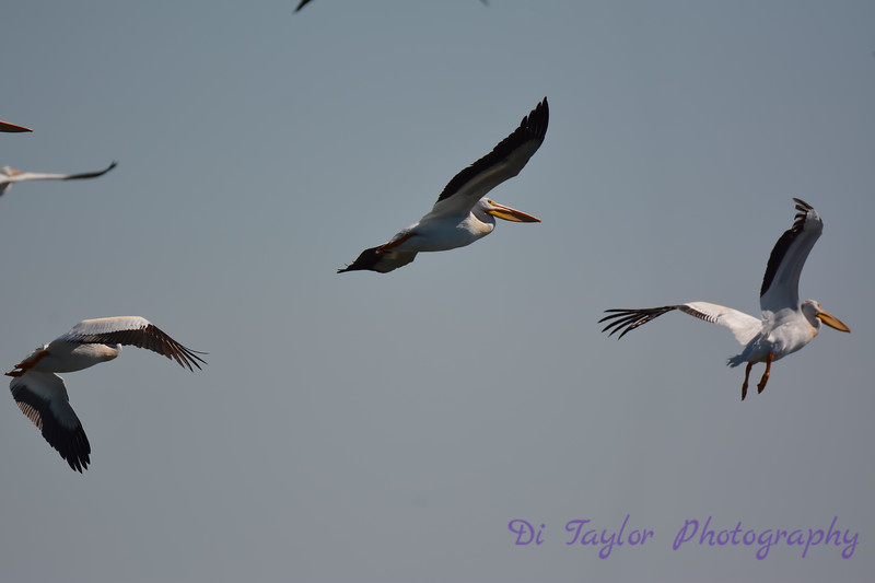 American White Pelicans in flight Aug 26 2017