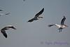 American White Pelicans in flight Aug 26 2017