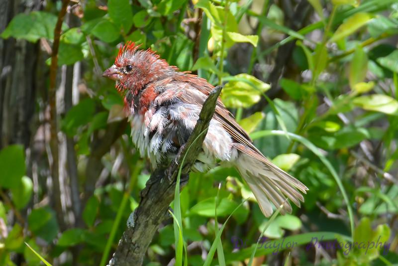 Purple Finch Male all wet