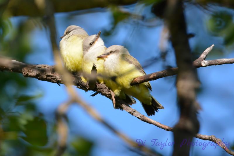 Three baby Western Kingbirds waiting for mama 27 Jul 2017