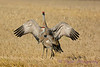 Sandhill Cranes establishing dominance 2