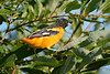 Baltimore Oriole Male 9