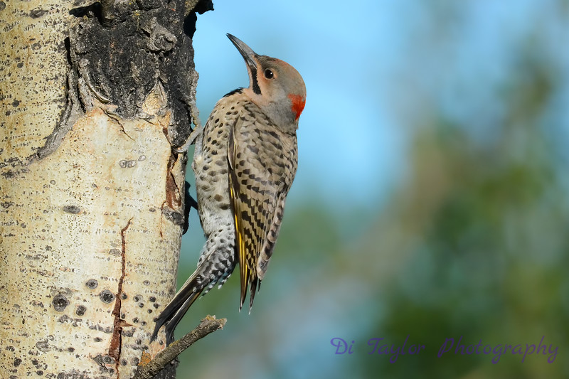 Northern Flicker on side of tree 2