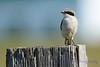 Loggerhead Shrike juvenile 5