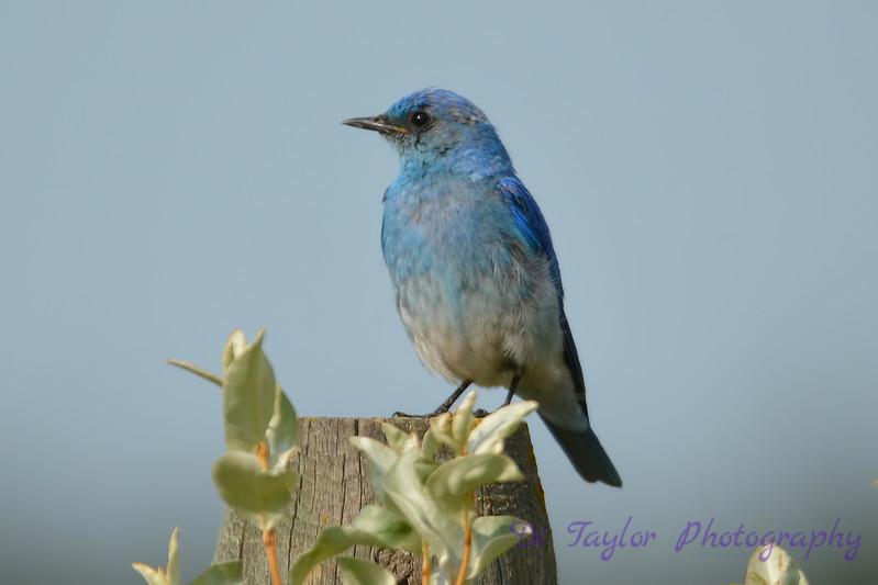 Mountain Bluebird 3  28 Jul 2017