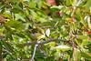 Tennessee Warbler Sep 13 2020