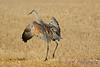 Sandhill Crane testing wings