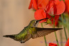 Female Ruby throated hummingbird 20