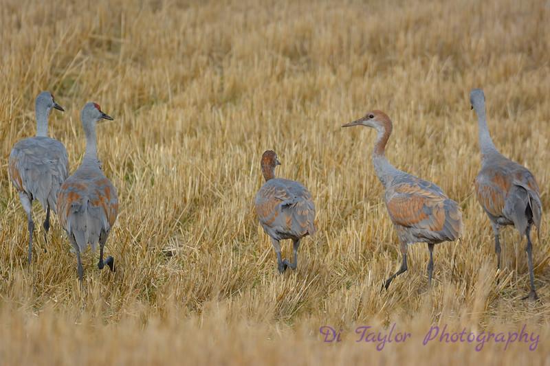 Sandhill Cranes  4  Oct 28 2017