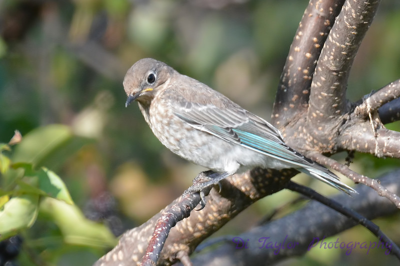 Mountain Bluebird young female 4  Aug 22 2017