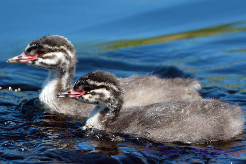 2 Baby Grebes 2