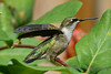 Ruby Throated Hummingbird in Honeysuckle Trumpet Vine 51