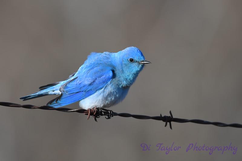 Mountain Bluebird male 10 May 3 2018
