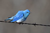 Mountain Bluebird male 10 May 3 2018