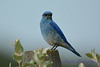 Mountain Bluebird 4  28 Jul 2017