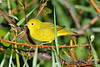 Yellow Warbler male  2  Aug 21 2017