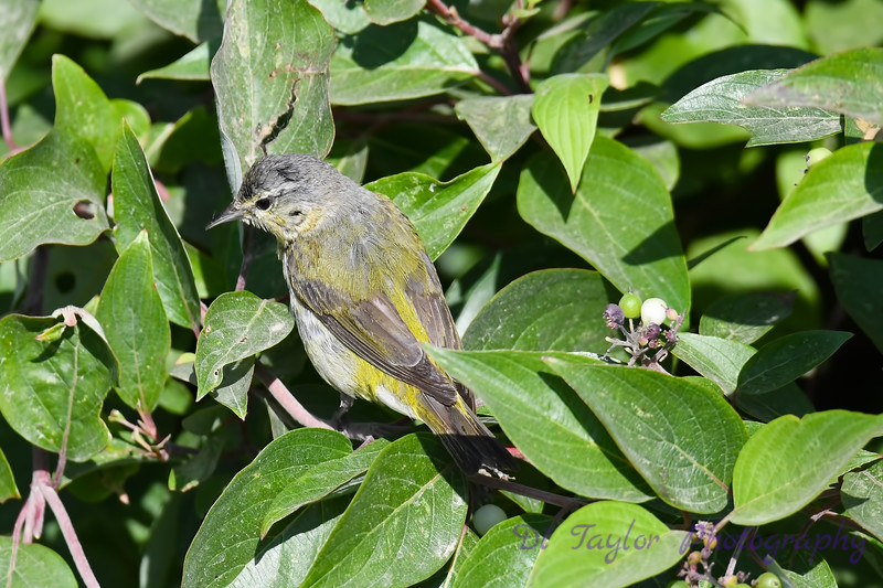 Tennessee Warbler 4 July 29 2018