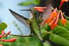 Female Ruby Throated Hummingbird on Honeysuckle Vine 15