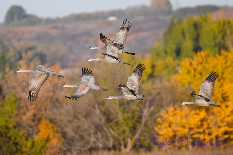 Sandhill Cranes flying Sep 28 2018