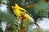 Goldfinch in pine tree