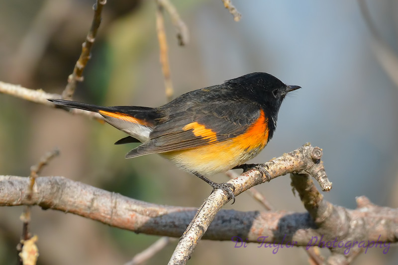 American Redstart male 9  Sep 10 2017