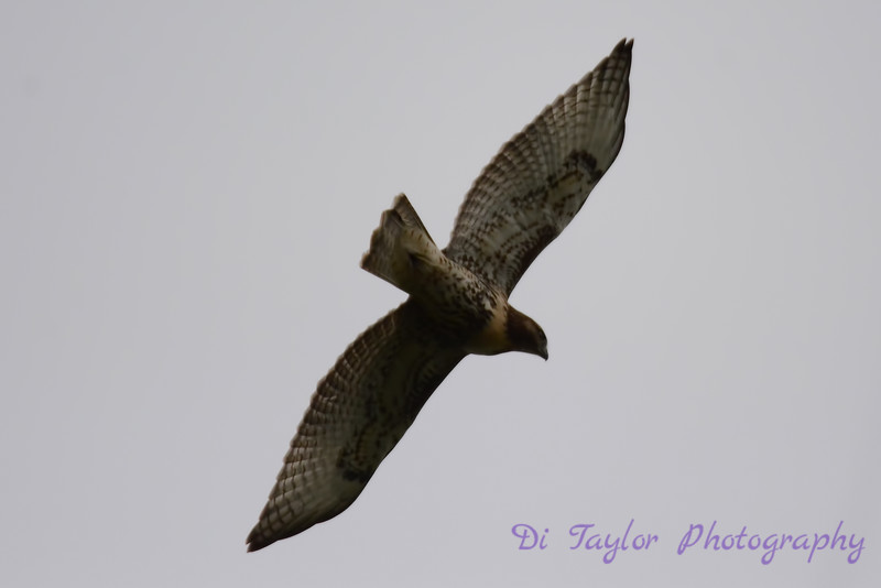 Red Tailed Hawk flying overhead