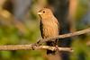 Cowbird Juvenile