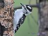 Hoary Woodpecker 28 July 2017
