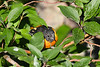 Baltimore Oriole Aug 5 2020