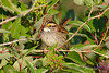 White throated Sparrow Sept 4 2017