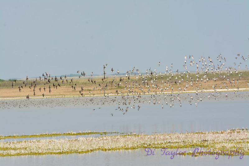 Phalarope flock circling