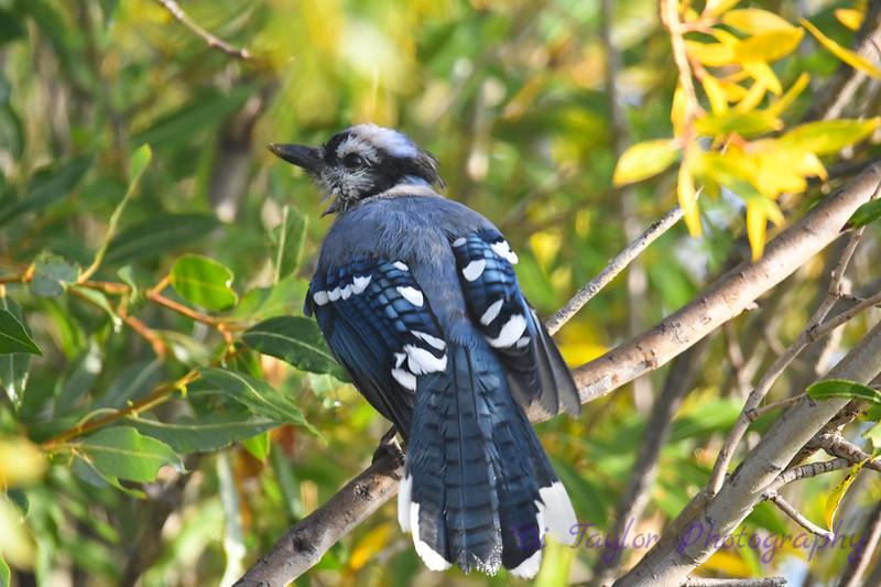 Blue Jay Sep 13 2020