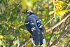Blue Jay Sep 13 2020