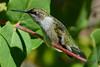 Ruby Throated Hummingbird in Honeysuckle Trumpet Vine 55