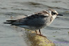 Black Tern gray variation on log