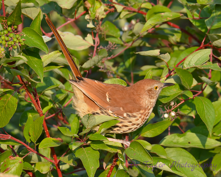 Brown Thrasher Sept 4 2017