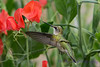 Female Ruby Throated Hummingbird in sweet peas 12