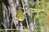 Tennessee Warbler 2 Sep 13 2020