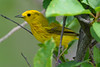 Yellow Warbler 3  23 Jul 2017
