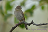 House Wren 4  30 Jul 2017