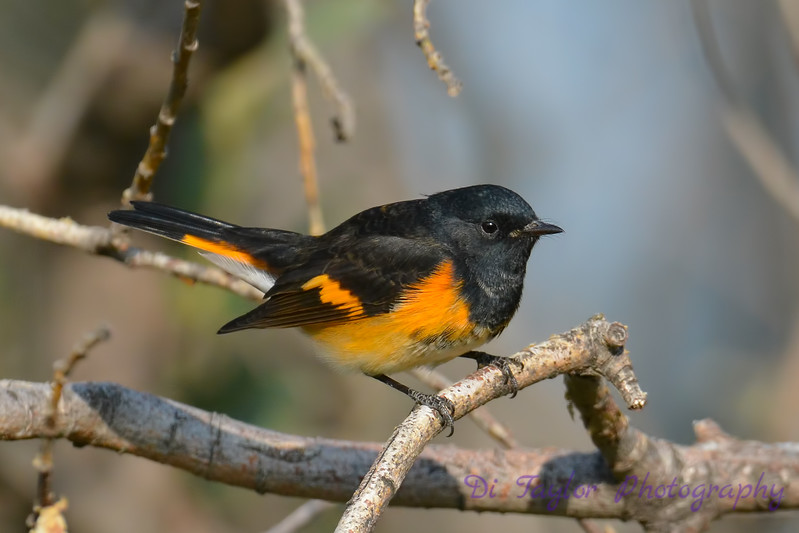 American Redstart male 12  Sep 10 2017